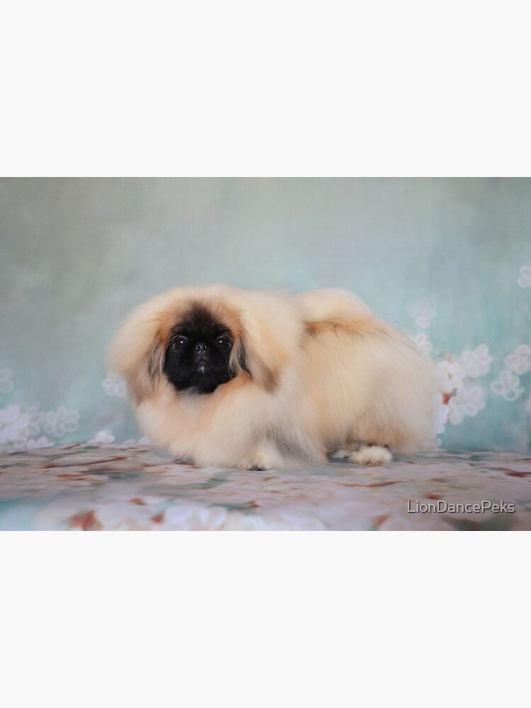 Cute Blonde Pekingese Puppy | Photographic Print
