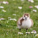 Egyptian Goose Chick by Ellesscee