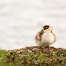 Egyptian Goose Chick #2 by Ellesscee