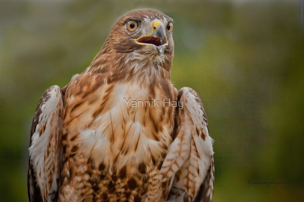 Red-tailed Hawk by Yannik Hay