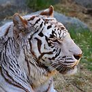 White Tiger - Cincinnati Zoo by Tony Wilder