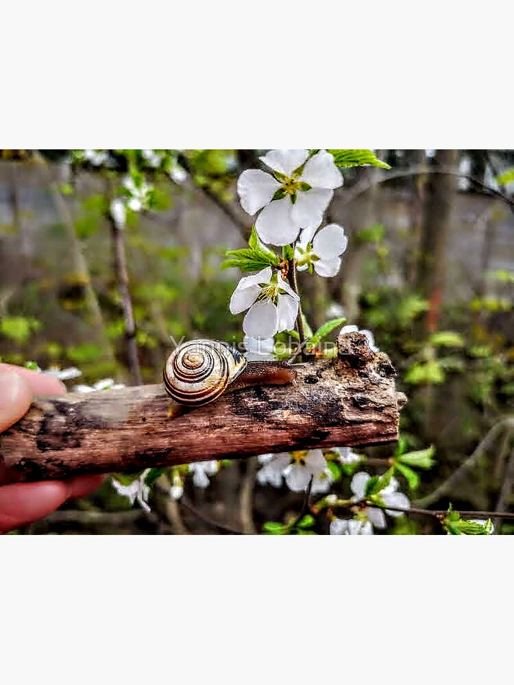 The garden snail (Helix aspersa)  By Yannis Lobaina  by lobaina1979
