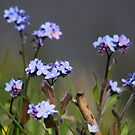 Forget-me-not by Jo Nijenhuis