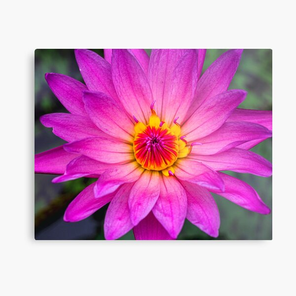 Pink Lotus with Red and Yellow Colours Metal Print