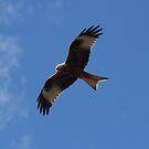 Milvus milvus - red kite by Ianua