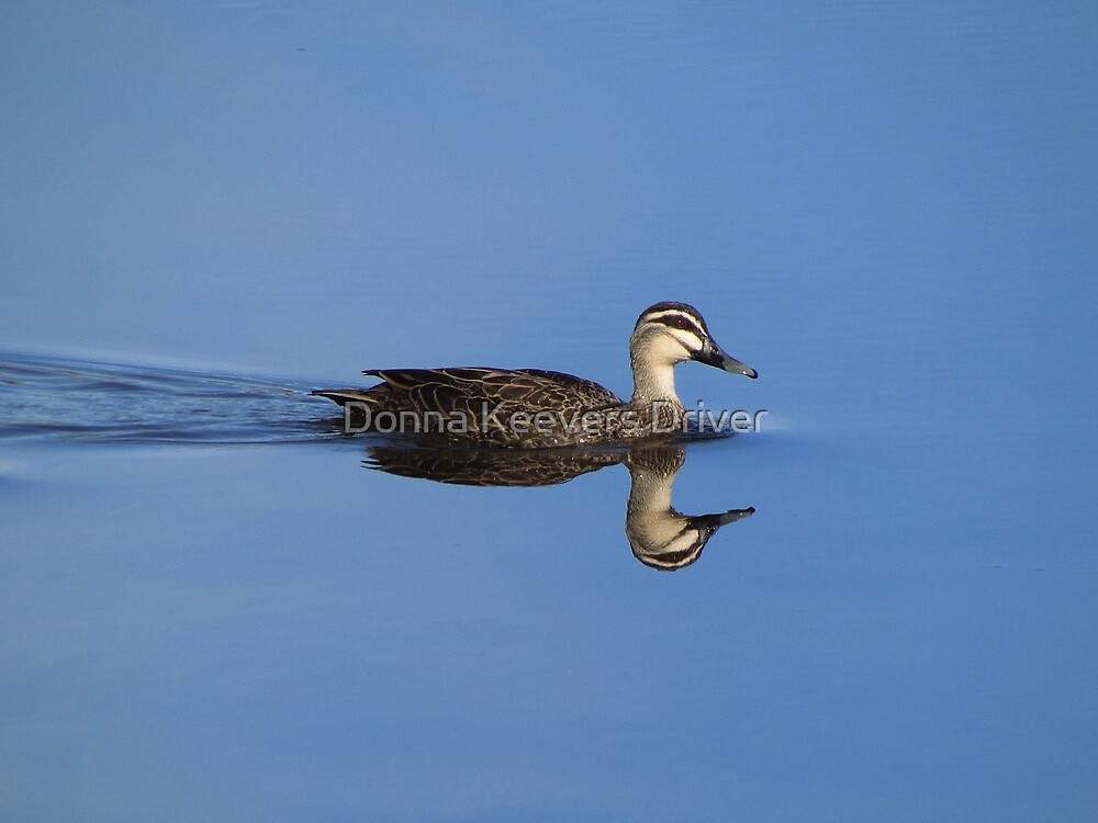 ~ Pacific Black Duck ~ by Donna Keevers Driver