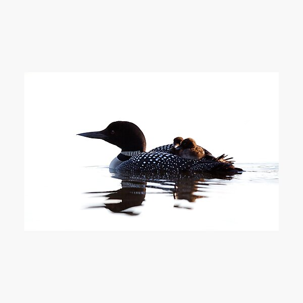 Common loon with chicks Photographic Print