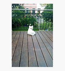 White Dog - West Highland White Terrier Photographic Print