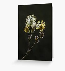 Male Goat Willow Greeting Card