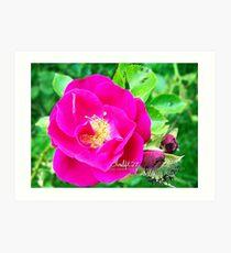 rosy  Art Print