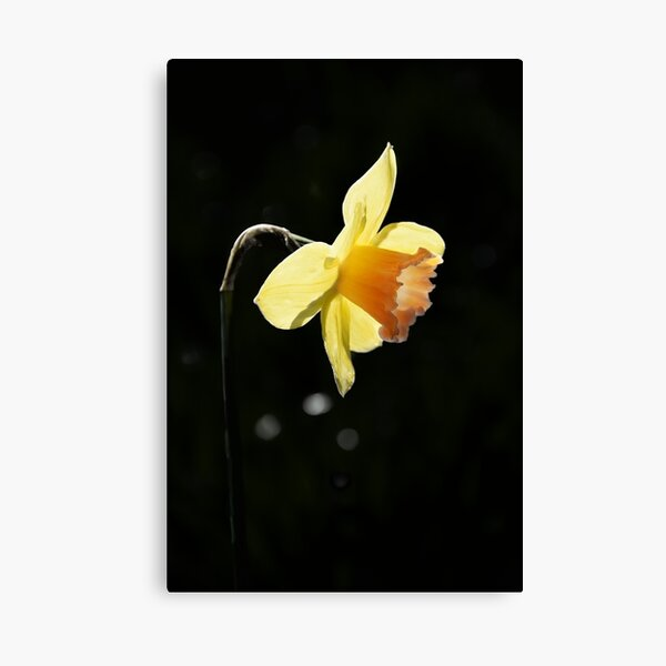 Golden Yellow Daffodil Spring Flower Photo Canvas Print