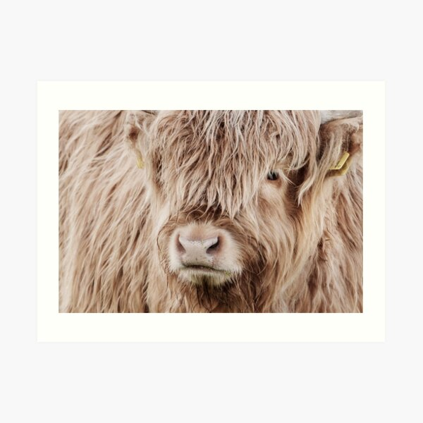 Portrait of a young Scottish highland cow Art Print