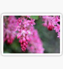 Ribes sanguineum Sticker