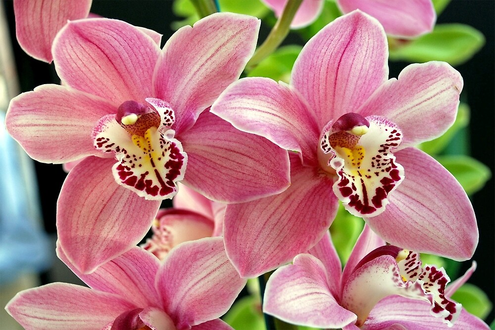 Pink orchids by Arie Koene
