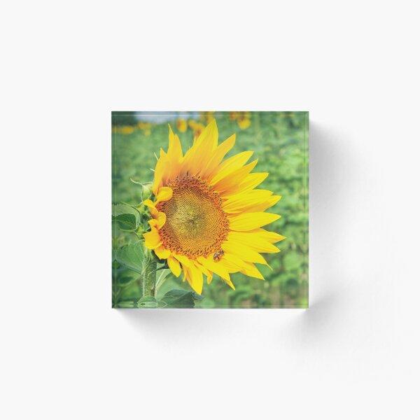 Ripe sunflower in the field Acrylic Block