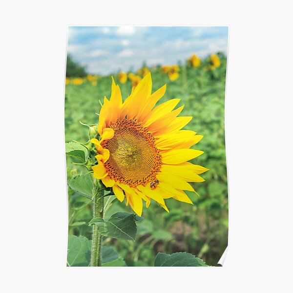 Ripe sunflower in the field Poster