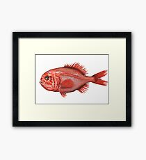 Fish - Orange Roughy (Hoplostethus atlanticus) Framed Print