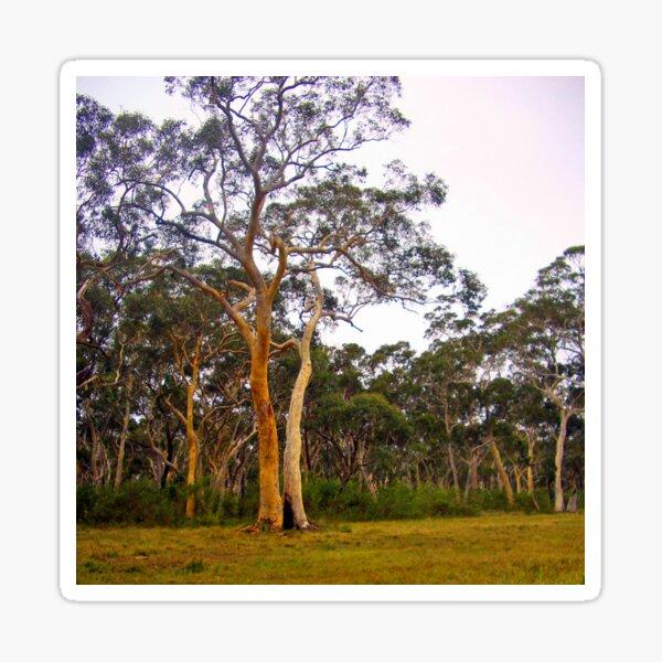 Gum Trees, Eucalyptus Trees Sticker