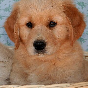 Golden Retriever Puppy by JennyB