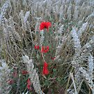 Poppies in a field by Jackie Wilson