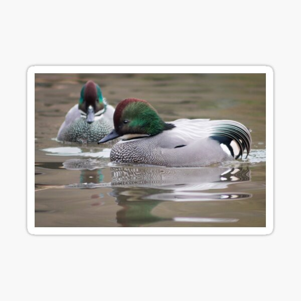 Falcated Teal swimming on the pond Sticker