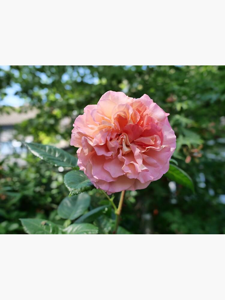 Fragrant Rachel Hybrid Tea Rose by santoshputhran