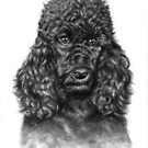 The Poodle Portrait by Nicole Zeug
