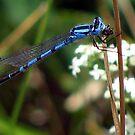 Blue Damsel by Jan Landers