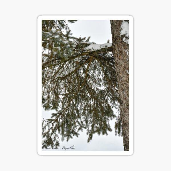 Snow Covered Pine Branch  Sticker