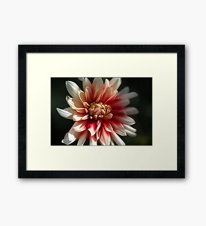 Dahlia Warmth Framed Print