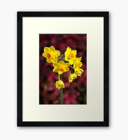 The Happy Jonquils Framed Print