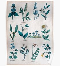 19th century lithography of common flowers and plants  Poster