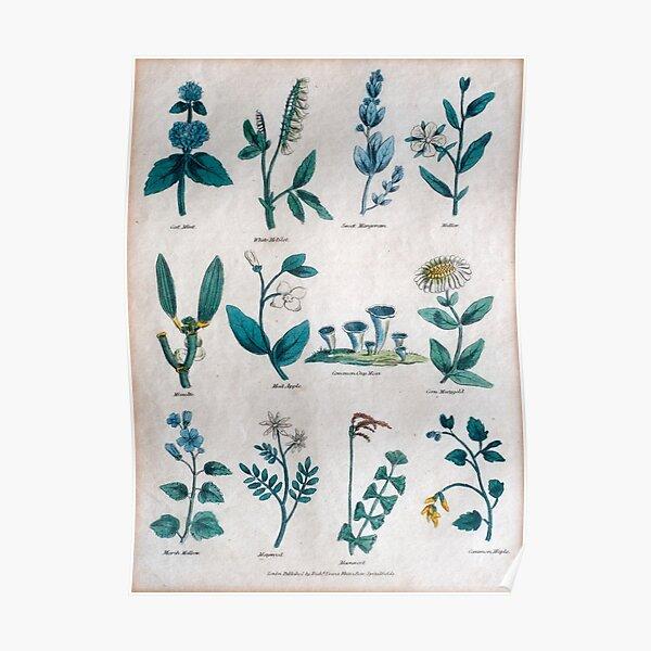 Lithographie des 19. Jahrhunderts von gemeinen Blumen und Pflanzen Poster