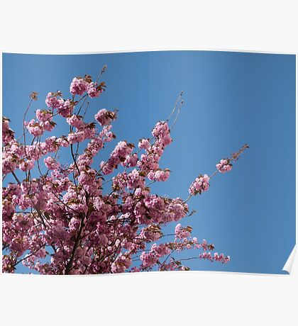 Cherry Blossoms #1 Poster