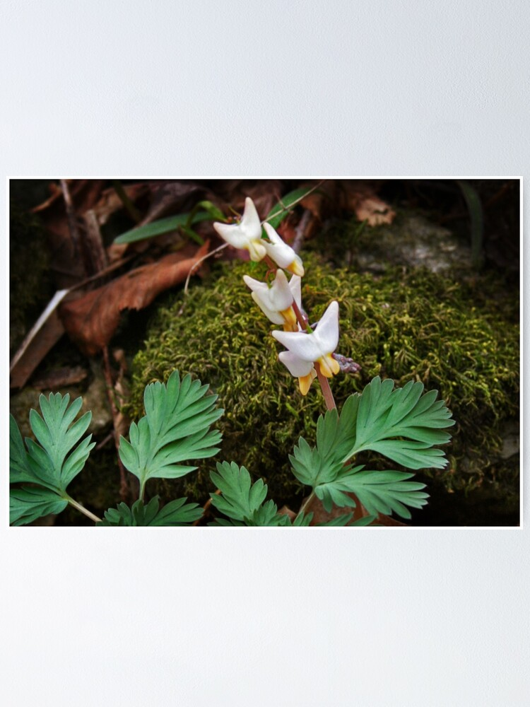 Dutchman S Breeches Poster By Mstique Redbubble