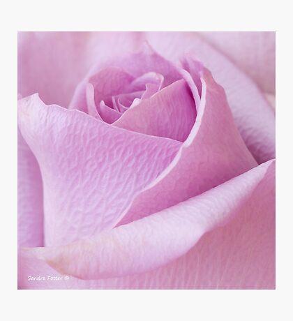Delicate Lavender Rose Macro Photographic Print