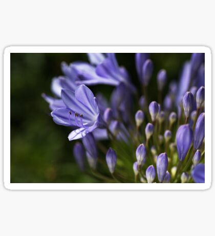 Agapanthus Dreaming Sticker