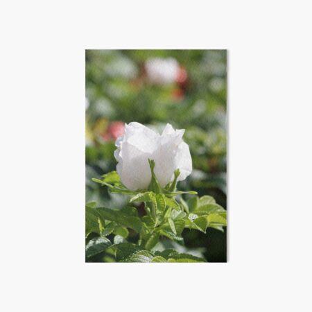 White Rosehip flower in Morning Sun Art Board Print