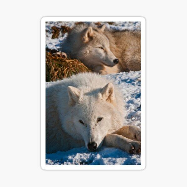 Arctic Wolves Sticker