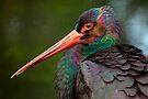 Black Stork by Stuart Robertson Reynolds