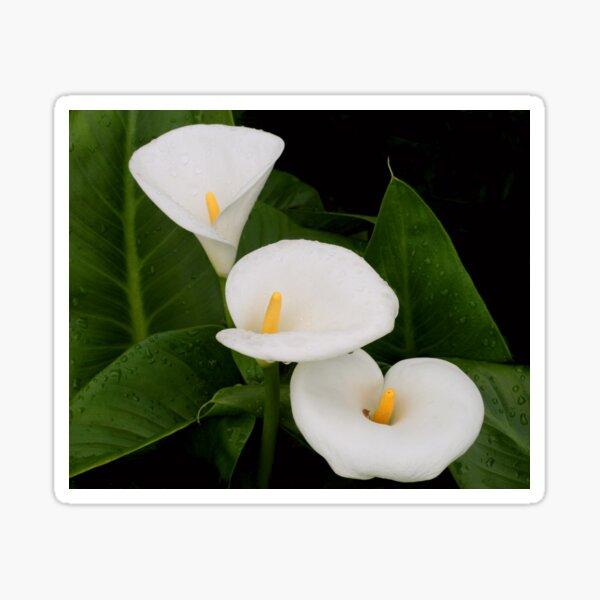 Arum lillies Sticker