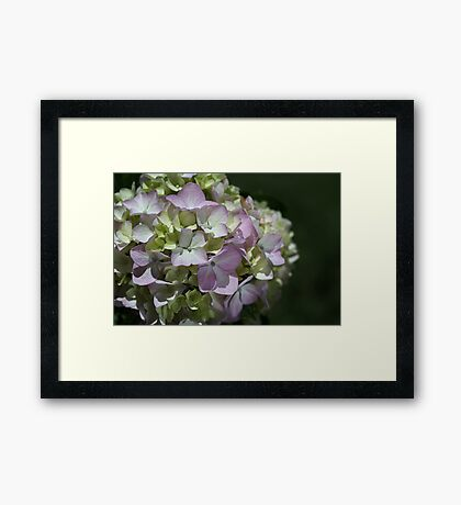 Soft Hydrangea Framed Print