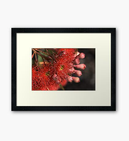 Flowering Eucalyptus Framed Print