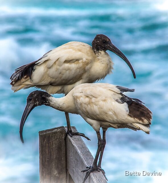 Sacred Ibises by Bette Devine