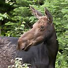 Moose close-up - Algonquin Park by Jim Cumming