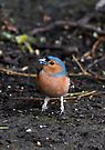 Chaffinch bird looking for food on the woodland ground. by Sara Sadler