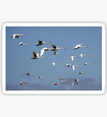 Mute Swans in Flight Sticker