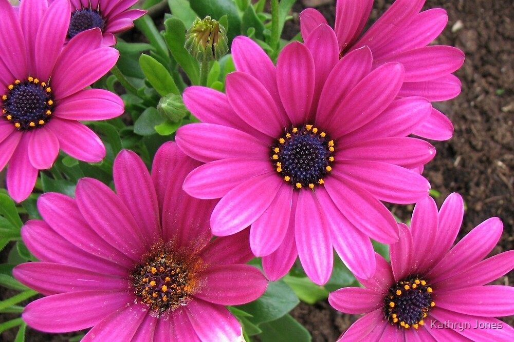 Vibrant Pink Cape Daisies and Bud by Kathryn Jones