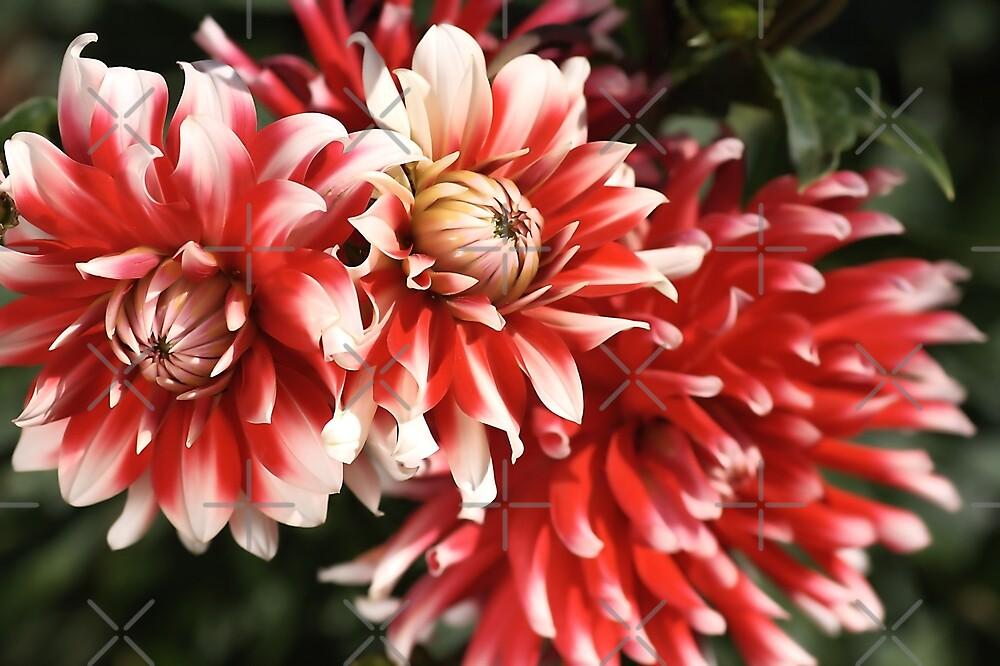 flower-dahlia-red-white-trio by Joy Watson