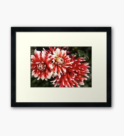 flower-dahlia-red-white-trio Framed Print